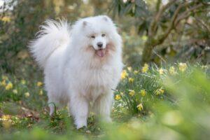 Samoyed dog photography